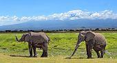 image of kilimanjaro  - Kilimanjaro elephants in Amboseli National Park Kenya - JPG