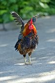 picture of fighting-rooster  - Beautiful decorative rooster on the farm in the spring