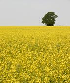 Lone Tree In Rapeseed Field
