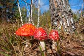 stock photo of agar  - fly agaric mushrooms in autumn forest against birch tree - JPG