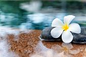 foto of horticulture  - Single Plumeria Flower on Stones at Edge of Pool in Tranquil Spa Setting - JPG