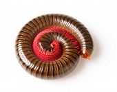 foto of millipede  - The millipede is insects that have several legs - JPG