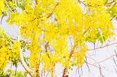 picture of cassia  - Fully yellow color of Golden flower or Cassia fistula with blue sky background - JPG
