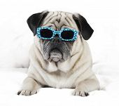 picture of pug  - Pug male dog with sunglasses lying on a white blanket - JPG