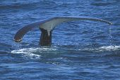 picture of whale-tail  - Tail of a migrating humpback whale in NSW ocean