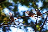 stock photo of java sparrow  - Three Java Sparrows sitting on branch in Maui