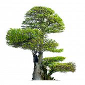 picture of bonsai  - Old bonsai tree isolated on white background  - JPG