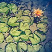 picture of ponds  - Retro Filter Photo Of Water Lily Pads In A Pond In Hawaii - JPG