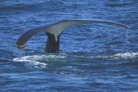 stock photo of whale-tail  - Tail of a migrating humpback whale in NSW ocean