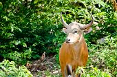 stock photo of endangered species  - Banteng was in Red List of Threatened Species in Endangered species in nature Thailand and it looking something on the rock