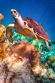 stock photo of hawksbill turtle  - Hawksbill Turtle  - JPG