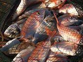 image of fresh water fish  - Freshly caught various salt water fish in a net - JPG