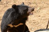 image of species  - Black Bear is dangerous species in forest thailand and it live everwherer in forest v-shape ** Note: Shallow depth of field - JPG