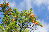 pic of tangerine-tree  - orange tangerine branch on a tree in a sunny day and blue sky - JPG