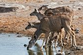 stock photo of greater  - A herd of greater Kudu drinking at a waterhole in Etosha National Park - JPG