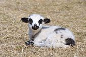 stock photo of spring lambs  - Little lamb standing alone on field in spring - JPG
