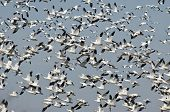 pic of geese flying  - Massive Flock of Snow Geese Flying Over the Marsh - JPG