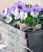 foto of violets  - Purple spring violets in a wooden flower box for planting and gardening - JPG