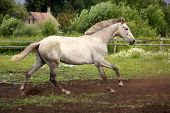 picture of galloping horse  - White andalusian horse galloping at flower field - JPG