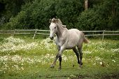 pic of galloping horse  - White andalusian horse galloping at flower field - JPG