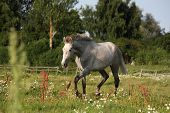 pic of colt  - Beautiful gray andalusian colt  - JPG