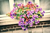 picture of petunia  - House window decorated with colorful petunias - JPG