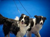 picture of collie  - two border collies portrait at the prize ring on dog show