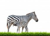 picture of breastfeeding  - Zebra was breastfeeding isolated on white background - JPG