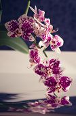 picture of moth  - Flowers of a beautiful white and purple moth orchid.