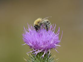 pic of scottish thistle  - bumblebee on thistle flower in a sunny day - JPG