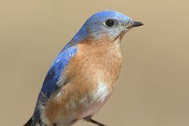 stock photo of bluebird  - Close - JPG