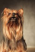 picture of yorkshire terrier  - curious little yorkshire terrier puppy dog looking at something up with mouth open in studio - JPG