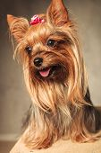 foto of yorkshire terrier  - side view of an adorable happy yorkshire terrier puppy dog panting with mouth open on grey studio background - JPG