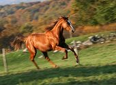 image of running horse  - english track racing horse running free on meadow - JPG