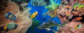 stock photo of fire coral  - Tropical Anthias fish with net fire corals and shark on Red Sea reef underwater - JPG