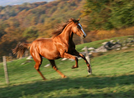 foto of running horse  - english track racing horse running free on meadow - JPG