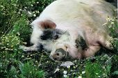 pic of wallow  - pig wallowing happily in a mud puddle surrounded by daisies - JPG
