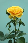 stock photo of yellow rose  - Yellow rose standing against a green - JPG