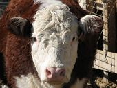pic of hereford  - A close up of a Hereford cow looking at you - JPG