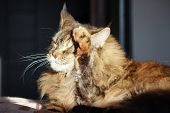 Sad Cat On The Top Shelf. Fresh Up Cat . Washes Face. Sunny Weather, Maincoon Big Cat. Colored Cat O poster