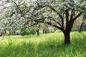 stock photo of apple tree  - A blooming branch of apple tree in spring - JPG