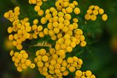 pic of tansy  - Closeup photo with yellow tansy and green background - JPG