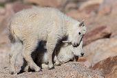 The Wildlife Of Colorado. Wild Mountain Goats On Colorado Mountain Peaks. poster