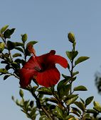 Red Hibiscus Flower On A Blue Sky Background. Cropped Shot, Close-up, Place For Text, Nothing. Conce poster