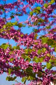 picture of judas tree  - Judas tree blossom - JPG