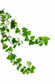 stock photo of ivy vine  - Image of the branch is ivy on a white background - JPG