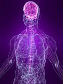 foto of human nervous system  - 3d rendered illustration of a human anatomy with highlighted nervous system - JPG