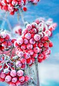 picture of rowan berry  - Red frozen rowan berries on blue sky