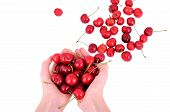 image of whip-hand  - Sweet cherries in the hands of european girls - JPG