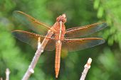 image of stick-bugs  - Golden brown dragonfly on stick with wings out - JPG